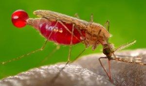 malariamozzie_t730